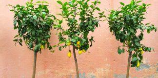 Засаждане на лимон от семка, как се засажда лимон, лимонено дръвче