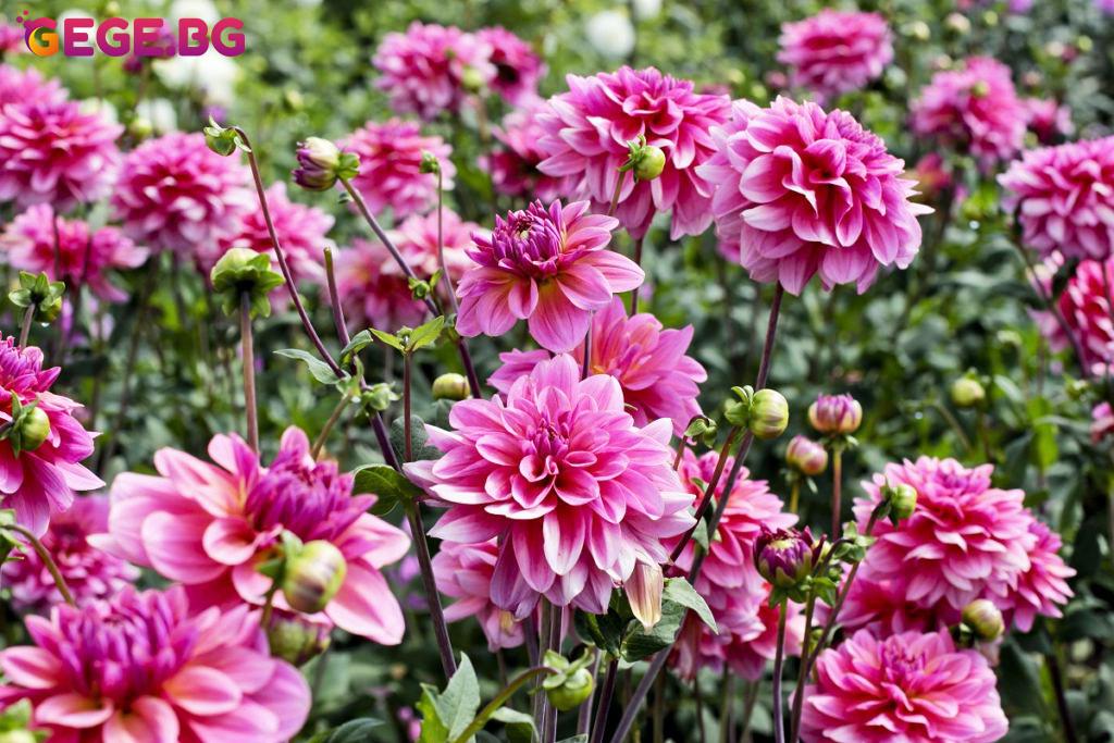 Далии, далия, Най-красивите летни градински цветя