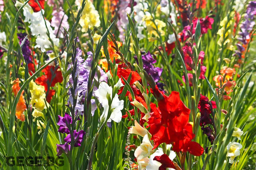 Гладиоли, Най-красивите летни градински цветя