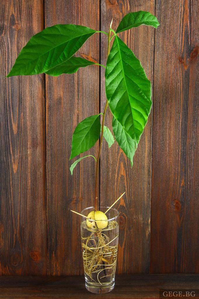 Засаждане на авокадо от семка