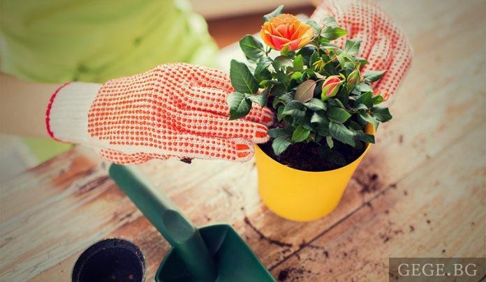 Засаждане на рози, рози засаждане, садене на рози, рози засаждане